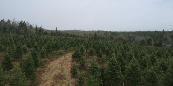 Reeves Christmas Tree Lot - Balsam Firs ready for the holiday season